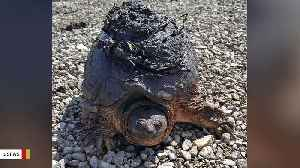 Turtle Emerges From Winter Hiding Looking Like This [Video]