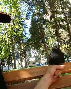 Baby Crow Trusts a Stranger [Video]