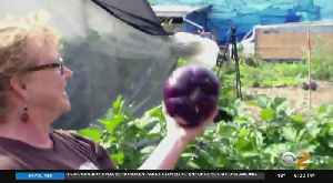 More People Growing 'Victory Gardens' For Food And Stress Relief [Video]
