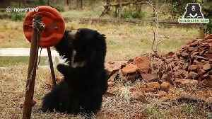 Sloth bear seized from poachers gleefully plays with barrel drum in southern India [Video]