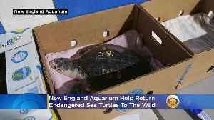 New England Aquarium Helps Return Endangered Sea Turtles To The Wild [Video]