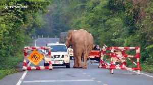 Wild elephant stops pickup truck to steal food from the back in Thailand [Video]