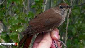 Climate Change Has Clipped Nightingales' Wings: Study [Video]