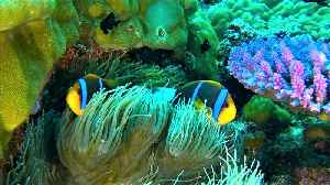 Beautiful clownfish can go where other creatures dare not go [Video]