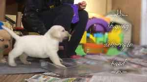 Watch this puppy learn how to become a service dog [Video]
