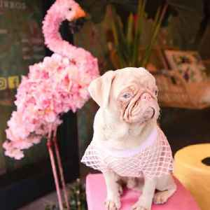 This pink pug is Instagram famous [Video]