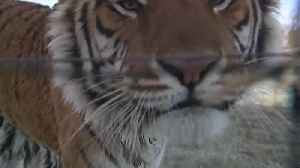 39 tigers from Netflix series 'Tiger King' are now living in a Colorado animal sanctuary [Video]
