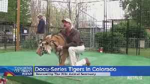 Tigers Rescued From Joe Exotic's 'Tiger King' Zoo Now At Colorado Animal Sanctuary [Video]