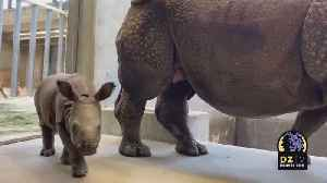 Denver Zoo Shares New Video Of Their One Month Old Rhino [Video]
