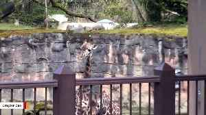 This Giraffe Is Totally Confused To See A Porcupine [Video]