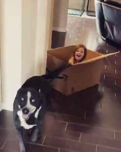 Girl Holds Dog's Leash and Gets Dragged on Floor While Sitting Inside Cardbox [Video]