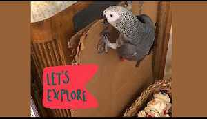 Determined talking parrot has a bad case of wanderlust [Video]