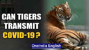 A tiger has tested positive for COVID-19, what could this mean? | Oneindia News [Video]