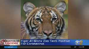 Bronx Zoo Tiger Tests Positive For COVID-19 [Video]
