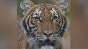 Bay Area Zoos Take Precautions After Tiger At Bronx Zoo Tests Positive For Coronavirus