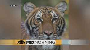 Bronx Zoo's Tiger Tests Positive For COVID-19 [Video]