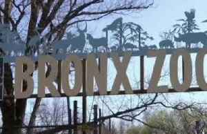 Tiger at New York's Bronx Zoo tests positive for coronavirus [Video]