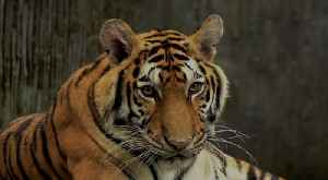 Tiger at New York Zoo Tests Positive for Coronavirus [Video]