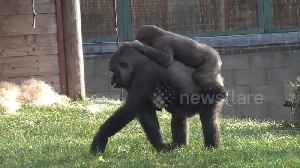 Silverback gorilla charges and pins down son before gran comes to the rescue [Video]