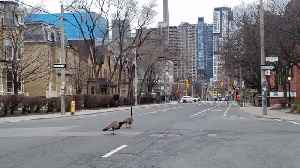 Emboldened Canadian geese wonder empty Toronto streets amid coronavirus crackdown [Video]