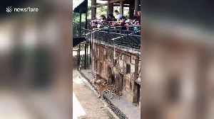 Chinese zoo allows visitors to dangle raw meat into tiger enclosure [Video]