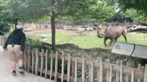Rambunctious Rhino! Watch This Rhino Prance About When He Sees His Zookeeper! [Video]
