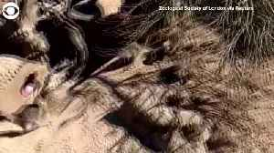 WEB EXTRA: Meerkat Egg Hunt [Video]