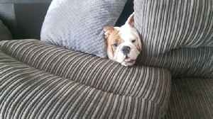Bonnie the Bulldog Causes Chaos on Couch [Video]