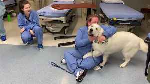 Missouri Hospital Adds New Staff Support Dog for Stressed-Out Employees [Video]