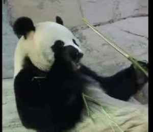 Giant pandas in Moscow zoo chill without usual flow of visitors
