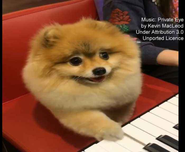 Pomeranian Dog Video Is A Hit Online One News Page Video