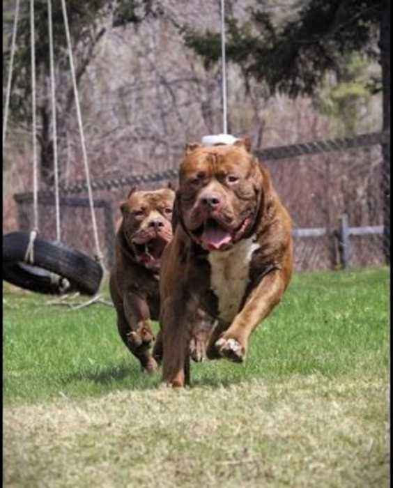 Worlds biggest Pitbull THE HULK has a twin - One News Page VIDEO
