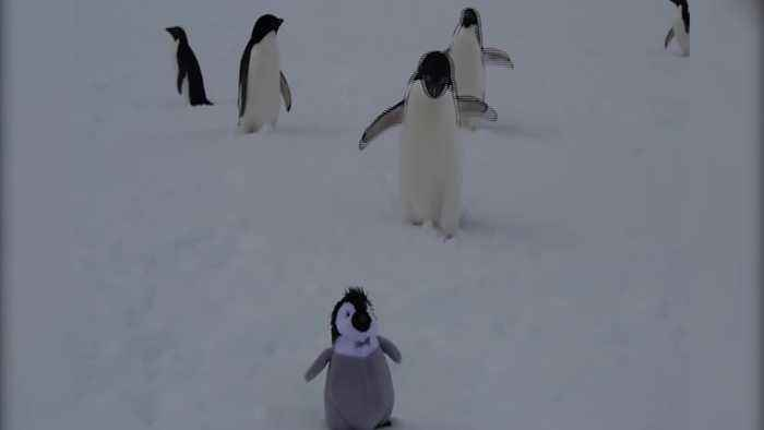News Video Real Penguins Are VERY Confused By Fake Penguin