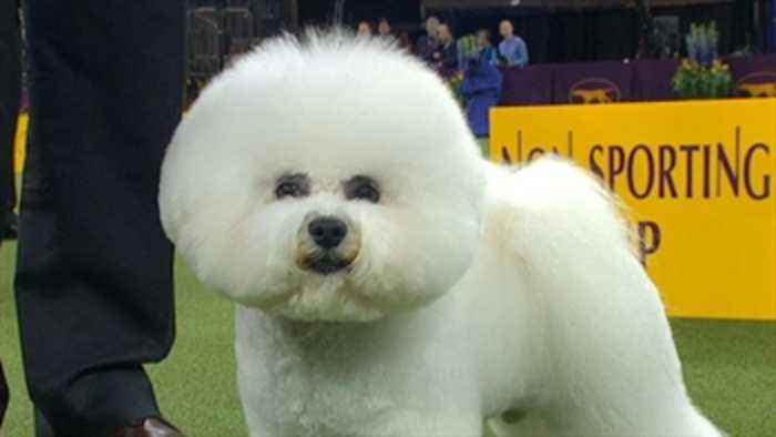 Watch Flynn the Bichon Frise win the 2018 Non Sporting Group