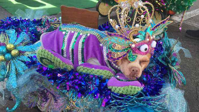 News video: Rescue Dogs Who Need Forever Home Get Dressed Up For Mardi Gras Parade
