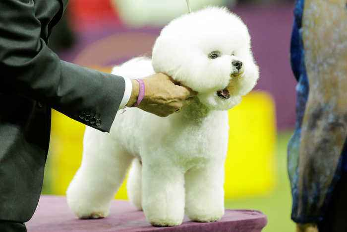 News video: Flynn the Bichon Frise Wins 2018 Best in Show at Westminster