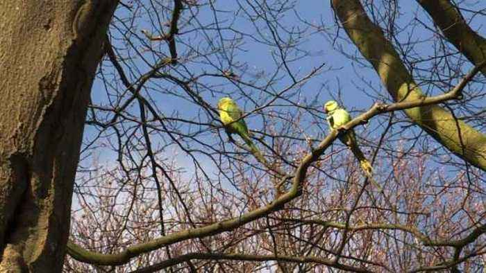 News video: Leave ring-necked parakeets alone: Dutch biologist