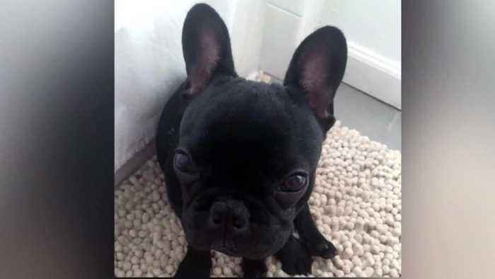 Puppy Death On United Flight Prompts Agency Probe