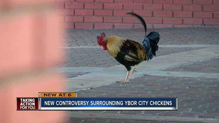 News video: Ybor man petitioning to protect chickens after residents say population is growing unnaturally large