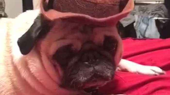 Pug wears a cowboy hat on a red bed - One News Page VIDEO 98c04ef07f3