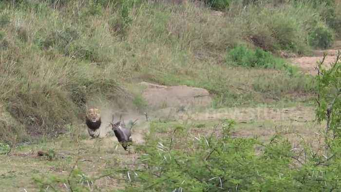 News video: Lion chases nyala in South African wilderness