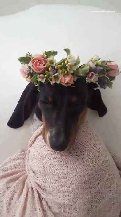 Black Dog With Flower Crown Wrapped One News Page Video