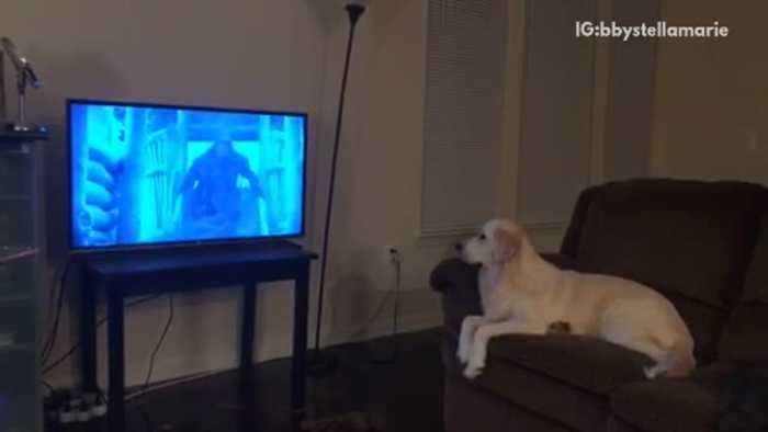 Golden Retriever Sits On Brown Couch Watches One News Page Video