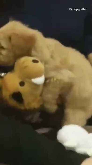 Small Tan Puppy Humps Stuffed Animal One News Page Video