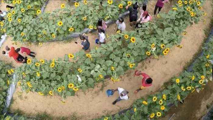 News video: Sunflower maze draws tourists to Philippines