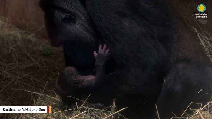 News video: Smithsonian's National Zoo Releases Another Video Of Gorilla Mom Taking Care Of Newborn