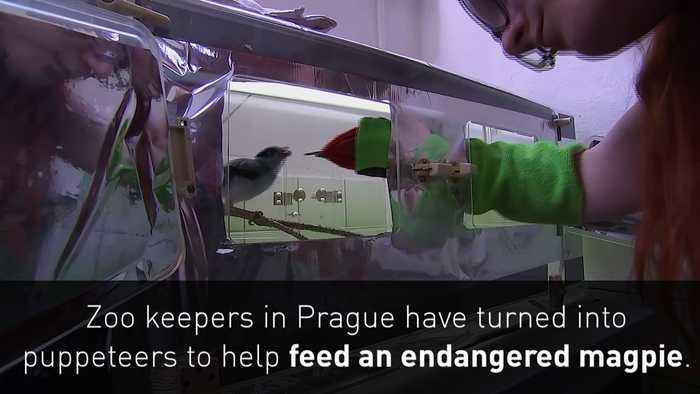 Zoo keepers use puppet to feed endangered magpie