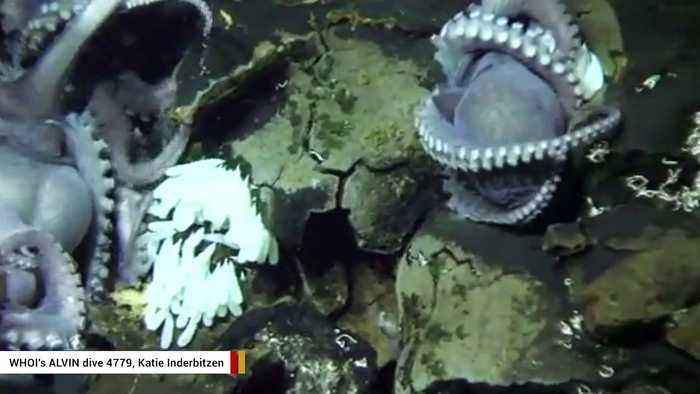 Video Captures Large Group Of Octopus Moms Hanging Out In A Very Unusual Place