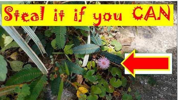 News video: Steal Mimosa Pudica Leaves Challenge: Who can Pick the Leaves Without Causing it to Close