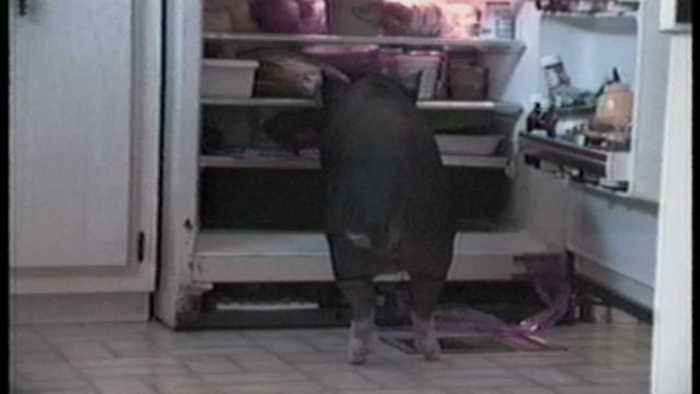 """""""Pig In Refrigerator Pulls Out - Bacon!"""""""